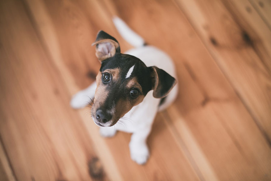 Small terrier mix dog sitting on hardwood floor